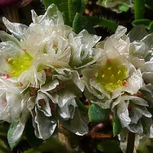 Paronychia argentea Lam. [1779] (Paronyque argentée)