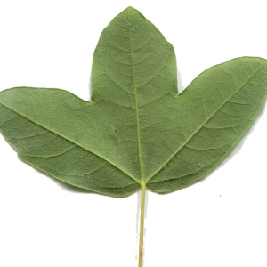 Photographie n°133399 du taxon Acer monspessulanum L. [1753]