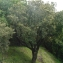 Liliane Roubaudi - Quercus ilex L.