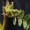 Bertrand BUI - Astragalus sesameus L. [1753]