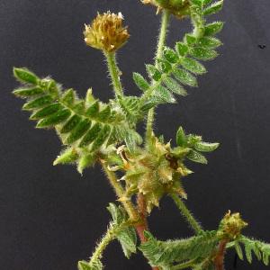 Photographie n°133739 du taxon Astragalus stella Gouan