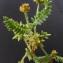 Bertrand BUI - Astragalus stella Gouan