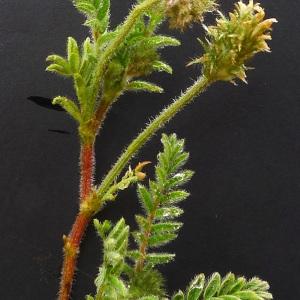Photographie n°133742 du taxon Astragalus stella Gouan