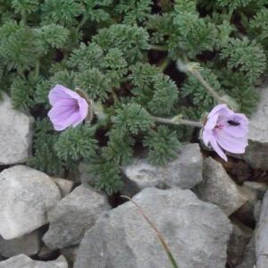 Eryngium foetidum L. (Bandhaniya)