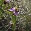 Liliane Roubaudi - Ophrys apifera Huds.