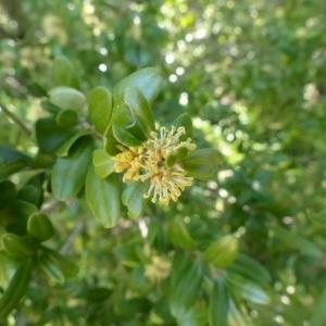 Photographie n°133929 du taxon Buxus sempervirens L. [1753]