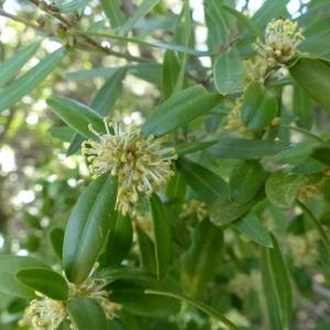 Photographie n°133932 du taxon Buxus sempervirens L. [1753]