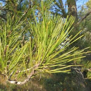Photographie n°134152 du taxon Pinus halepensis Mill. [1768]
