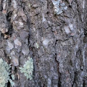 Photographie n°134154 du taxon Pinus halepensis Mill. [1768]