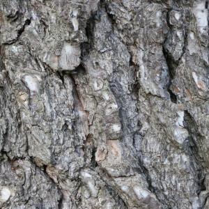 Photographie n°134155 du taxon Pinus halepensis Mill. [1768]