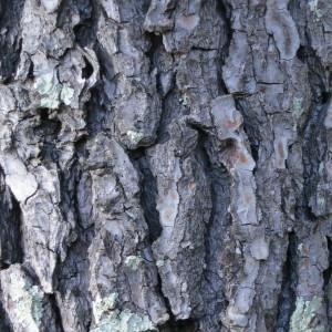Photographie n°134156 du taxon Pinus halepensis Mill. [1768]