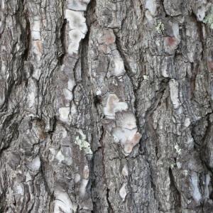 Photographie n°134157 du taxon Pinus halepensis Mill. [1768]