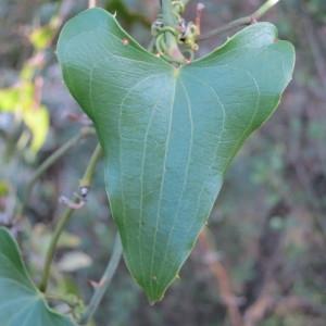Photographie n°134229 du taxon Smilax aspera L. [1753]