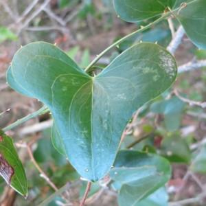 Photographie n°134230 du taxon Smilax aspera L. [1753]