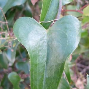 Photographie n°134234 du taxon Smilax aspera L. [1753]