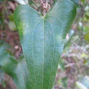 Photographie n°134236 du taxon Smilax aspera L. [1753]