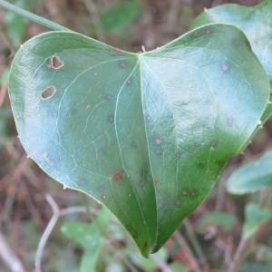 Photographie n°134243 du taxon Smilax aspera L. [1753]