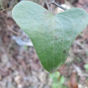 Photographie n°134244 du taxon Smilax aspera L. [1753]