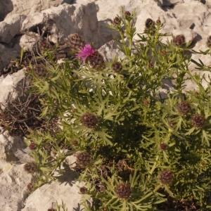 Photographie n°134267 du taxon Centaurea corymbosa Pourr. [1788]