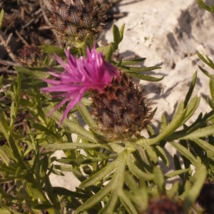 Photographie n°134269 du taxon Centaurea corymbosa Pourr. [1788]