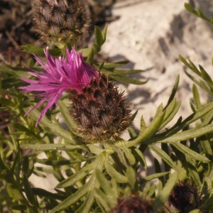 Photographie n°134270 du taxon Centaurea corymbosa Pourr. [1788]