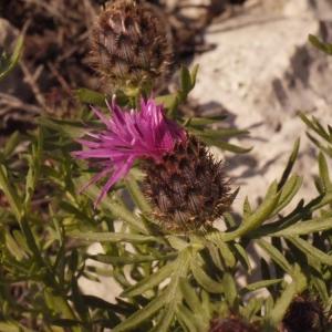 Photographie n°134271 du taxon Centaurea corymbosa Pourr. [1788]