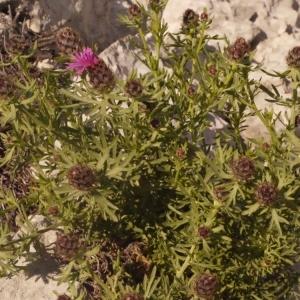 Photographie n°134272 du taxon Centaurea corymbosa Pourr. [1788]