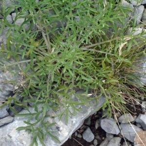 Photographie n°134274 du taxon Centaurea corymbosa Pourr. [1788]