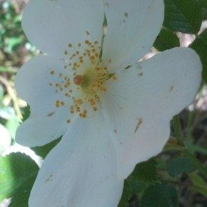 Photographie n°134313 du taxon Rosa canina L. [1753]