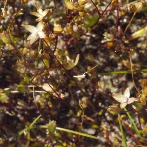 Photographie n°134328 du taxon Sagina apetala Ard.