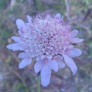 Photographie n°134396 du taxon Scabiosa atropurpurea L.