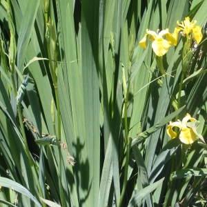 Photographie n°134415 du taxon Iris pseudacorus L. [1753]