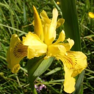Photographie n°134416 du taxon Iris pseudacorus L. [1753]