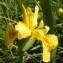Jean-Claude Calais - Iris pseudacorus L. [1753]