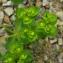 Claire Felloni - Euphorbia helioscopia L. [1753]