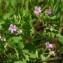 Claire Felloni - Geranium rotundifolium L. [1753]