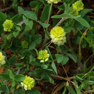 Photographie n°134457 du taxon Trifolium campestre Schreb. [1804]