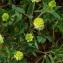 Claire Felloni - Trifolium campestre Schreb. [1804]