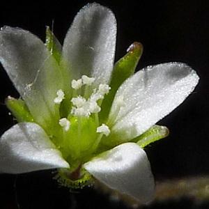 Arenaria modesta Dufour (Sabline modeste)