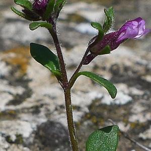 Photographie n°134486 du taxon Chaenorhinum origanifolium (L.) Kostel. [1844]