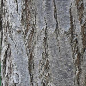 Photographie n°134554 du taxon Robinia pseudoacacia L.