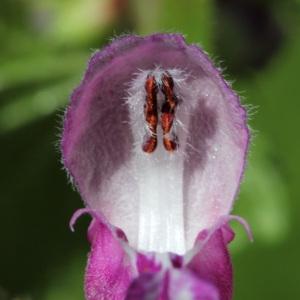 Lamium maculatum (L.) L. (Lamier à feuilles panachées)