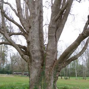 Photographie n°134578 du taxon Quercus robur subsp. fastigiata (Lam.) A.Camus