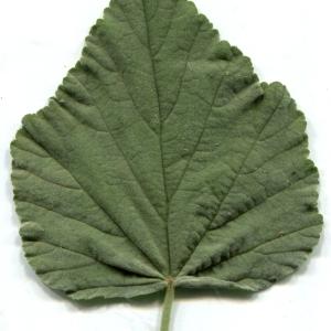 Photographie n°134585 du taxon Althaea officinalis L. [1753]