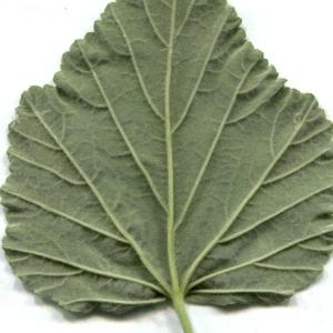 Photographie n°134586 du taxon Althaea officinalis L. [1753]