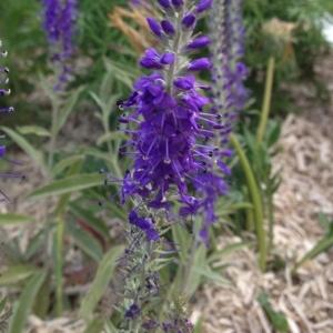 Veronica spicata L. (Véronique en épi)