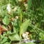 Jean-Claude Calais - Dactylorhiza viridis (L.) R.M.Bateman, Pridgeon & M.W.Chase