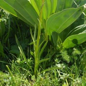 - Gymnadenia nigra subsp. austriaca (Teppner & E.Klein) Teppner & E.Klein