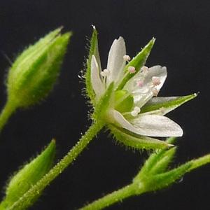 Arenaria leptoclados (Rchb.) Guss. (Sabline à rameaux fins)