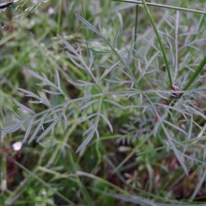 Photographie n°134928 du taxon Conopodium majus (Gouan) Loret